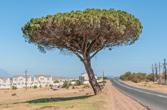 Pine tree in Somerset West. Pine tree next to the road between Somerset West and Sir Lowrys Pass town Royalty Free Stock Photos