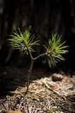 Pine tree sprout Royalty Free Stock Image