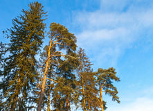 Pine tree and spruce over blue sky Royalty Free Stock Images