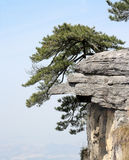 Pine tree stand erect on the huge rock Royalty Free Stock Photos
