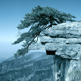 Pine tree stand towering on the cliff. Pine tree stand erect on a huge rock Stock Images