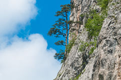 Pine tree on the stone Stock Photography