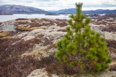 Pine tree on the stone coast in Norway Stock Photo