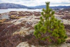 Pine tree on the stone coast in Norway Stock Photo
