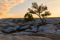 Pine tree on Stone Mountain, USA Royalty Free Stock Photography