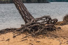Pine tree with strange roots Stock Photography