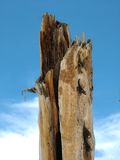 Pine tree stump Royalty Free Stock Photography