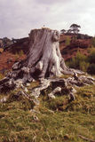 Pine tree stump, Caledonian forest Stock Photos