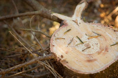 Pine tree stump Royalty Free Stock Image