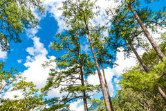 Pine tree on sub alpine mountain forest Royalty Free Stock Image