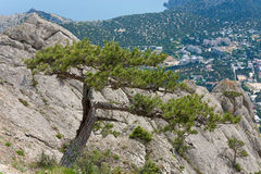 Pine tree on summer mountain hill Stock Photo