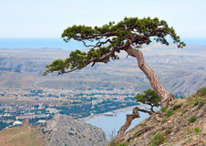 Pine tree on summer mountain hill (Crimea) Royalty Free Stock Images