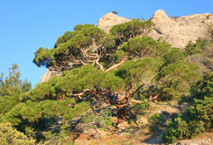 Pine tree on summer mountain hill (Crimea) Stock Image