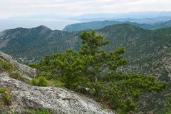 Pine tree on summer mountain hill (Crimea) Royalty Free Stock Image