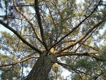Pine Tree in Sun. Stock Photos