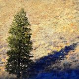 Pine Tree in Sunlight Stock Images
