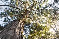 Pine tree and sunlight at Phu Rua , Loei , Thailand . ant eye view Royalty Free Stock Image