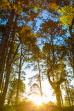 Pine tree sunrise on forest trail way mountain Royalty Free Stock Photo