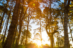 Pine tree sunrise on forest trail way mountain Royalty Free Stock Photos