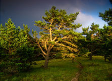 Pine tree in sunset. The last rays of sunlight shine on a pine tree in a forest at sunset Royalty Free Stock Photography