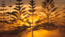 Pine tree Sunset. The sun shines through the pine trees in Western Australia during a dusty sunset Stock Photos