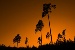 PINE TREE SUNSET Stock Photos