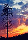 Pine tree at sunset. Old pine tree over bright sunset sky Stock Photo