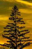 Pine Tree Sunset Royalty Free Stock Photo