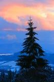 Pine tree on sunset sky background Stock Photography