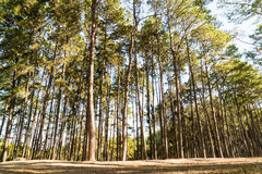 Pine tree with sunshine and shadow Royalty Free Stock Photography