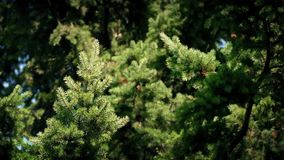 Pine Tree Swaying In The Breeze. Tree branches on a sunny day sway gently in the breeze stock video