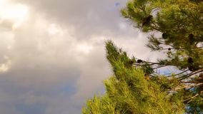 Pine tree swaying in the wind. Pine tree blowing in the wind over blue sky clouds background stock footage