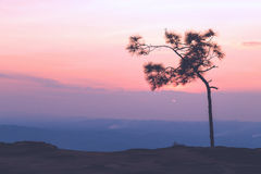 Pine tree with sweet sky during sunset Stock Photo
