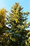 Pine tree in Swiss Alps stock photography