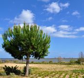 The pine tree by the Tejo river royalty free stock photos
