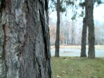 Pine tree texture with background of the forest stock footage