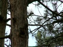 Pine tree texture with background of the forest. During the late autumn stock footage