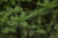 Pine Tree Texture. Pine tree leaves dark green texture Stock Photos