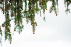 Pine tree texture over sky Stock Photos