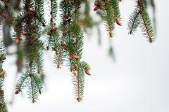 Pine tree texture over sky Royalty Free Stock Photo