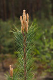 Pine tree top with buds Stock Image