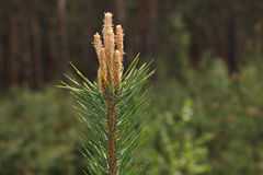 Pine tree top Royalty Free Stock Images