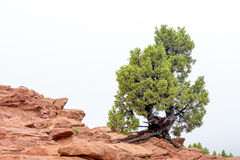 Pine tree on top of red rocks Colorado Stock Photo