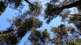 Pine tree tops blue sky. Looking up at swaying slowly pine tree tops against clear blue sky in the coniferous forest. Low angle view stock video
