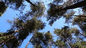 Pine tree tops blue sky stock video