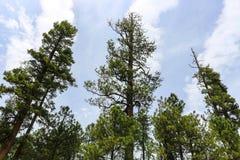 Pine tree tops Stock Photo