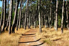 Pine Tree Trail. A trail through a pine tree forest Stock Photography