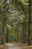 Pine Tree Trail Royalty Free Stock Images