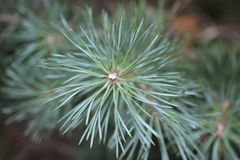 Pine. Needle. royalty free stock photo