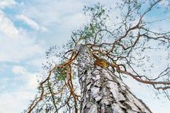 Pine tree with tree mushroom on blue sky Royalty Free Stock Photos